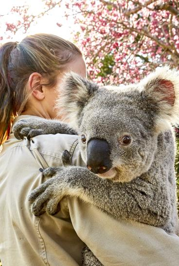 Friendly koala at Symbio Wildlife Park, Helensburgh in the Illawarra region